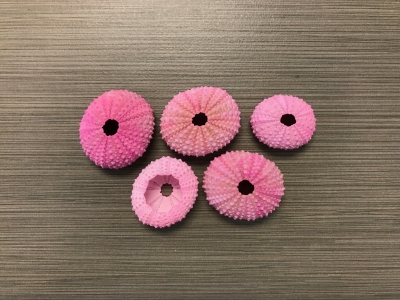 Pink Sea Urchins (Dyed Hot Pink)