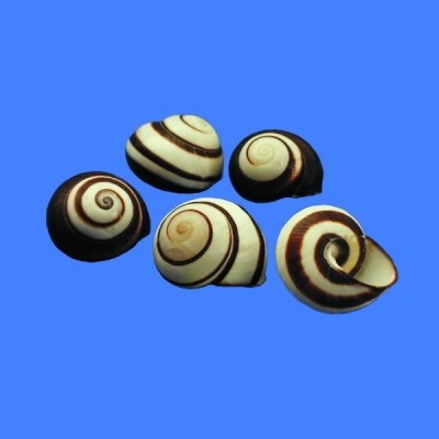 Striped Land Snail (Philippines)